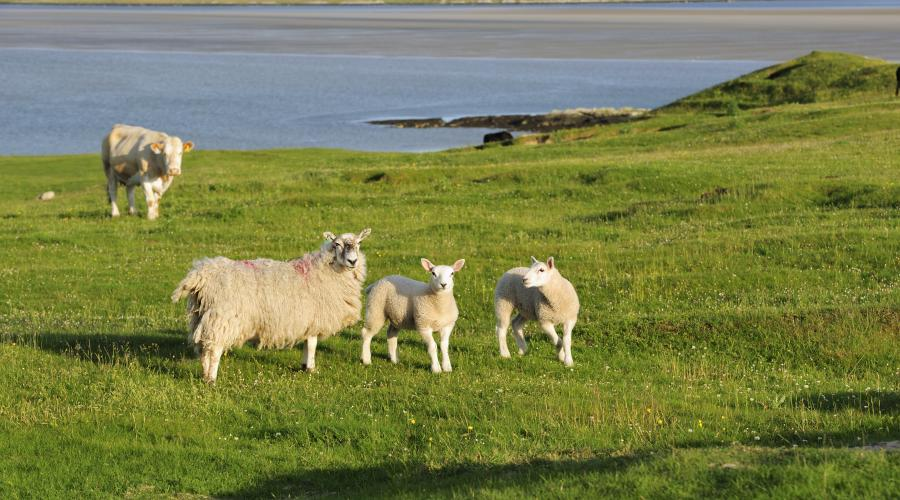 Sheep and lambs grazing. ©Lorne Gill/SNH. For information on reproduction rights contact the Scottish Natural Heritage Image Library on Tel. 01738 444177 or www.nature.scot