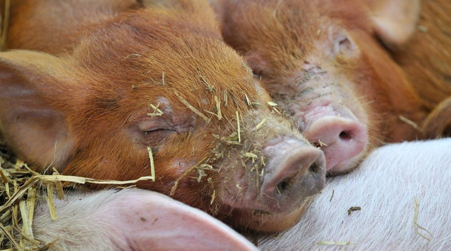 Young organic piglets at Whitmuir Organic farm near Peebles. Forth and Borders Area ©Lorne Gill/SNH. For information on reproduction rights contact the Scottish Natural Heritage Image Library on Tel. 01738 444177 or www.nature.scot