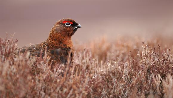 Red Grouse (lagopus lagopus scoticus) resting in heather moorland. ©Lorne Gill. For information on reproduction rights contact the Scottish Natural Heritage Image Library on Tel. 01738 444177 or www.nature.scot